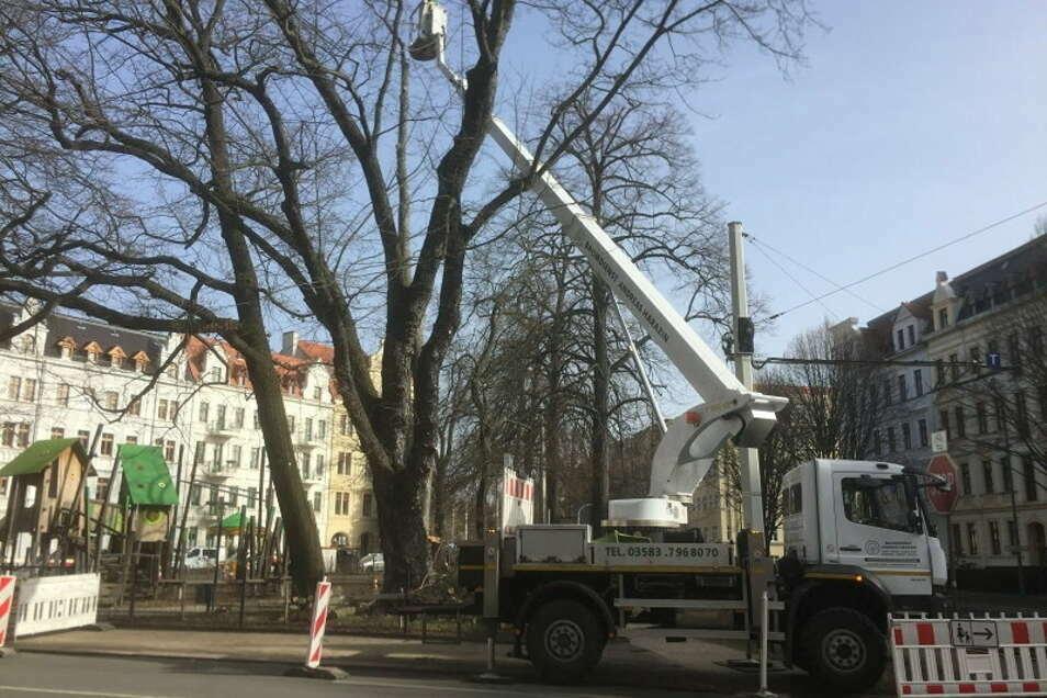 Am Spielplatz August-Bebel-Platz in Görlitz wurde am Dienstag ein Ahornbaum gefällt.