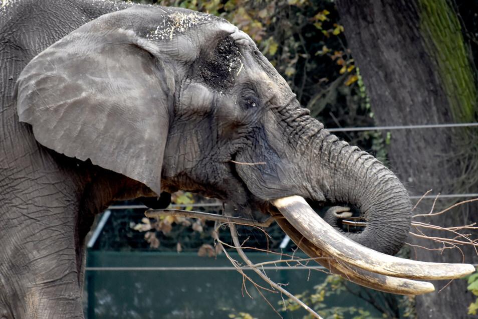 Mit seinen großen Wülsten am Kopf, der dunklen Haut und den riesigen langen Stoßzähnen sieht Tonga wie ein richtiger Elefantenbulle aus.