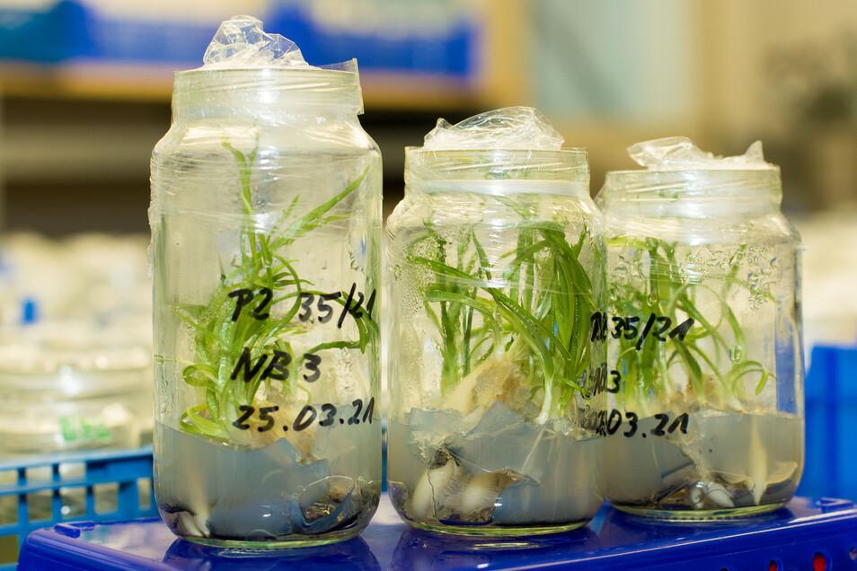 Etwa zwei Jahre wachsen die Orchideen im Kaditzer Labor. Immer wieder werden Mineralien und andere Bestandteile hinzugefügt, sodass sie gut gedeihen.