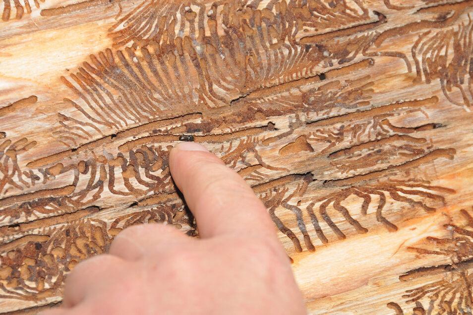 Typisches Fraßbild des bis fünf Millimeter großen Fichtenborkenkäfers unter der Rinde.