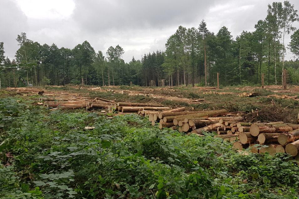 Hier hat der Borkenkäfer ganze Arbeit geleistet: Diese Kiefernfläche im Revier Ullersdorf musste abgeholzt werden.