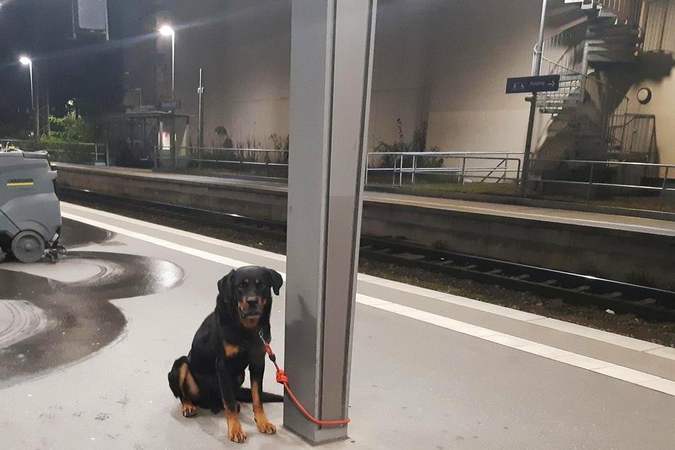 Der neue Hundebesitzer wusste sich nicht anders zu helfen, als den Rottweiler an einem Pfeiler am Bahnsteig 2 festzubinden und per Notruf die Polizei zu alarmieren.