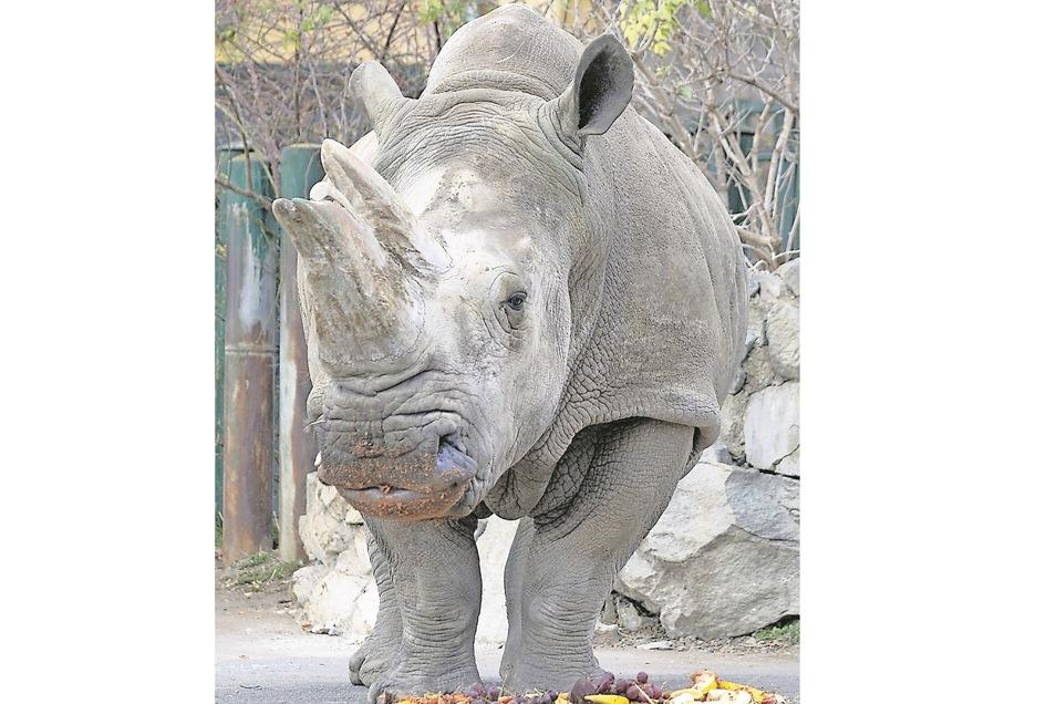 Das Nashornweibchen Zamba ist gestorben.