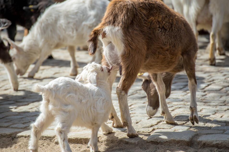Das Streichelgehege im Görlitzer Tierpark haben die Tiere für sich. Vor allem Ziegen tummeln sich hier. Auch eine ganz junge Kaschmirziege. ist zu sehen. Sie ist erst wenige Wochen alt und eine von einem Zwillingspaar. Ein Lämmchen wurde von seiner Mutter
