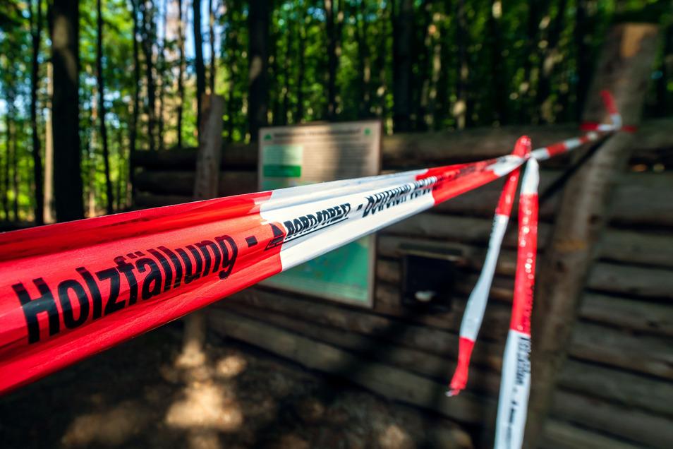 Walderlebnisgelände Waldhusche in Hinterhermsdorf: Hier werden abgestorbene Fichten gefällt.