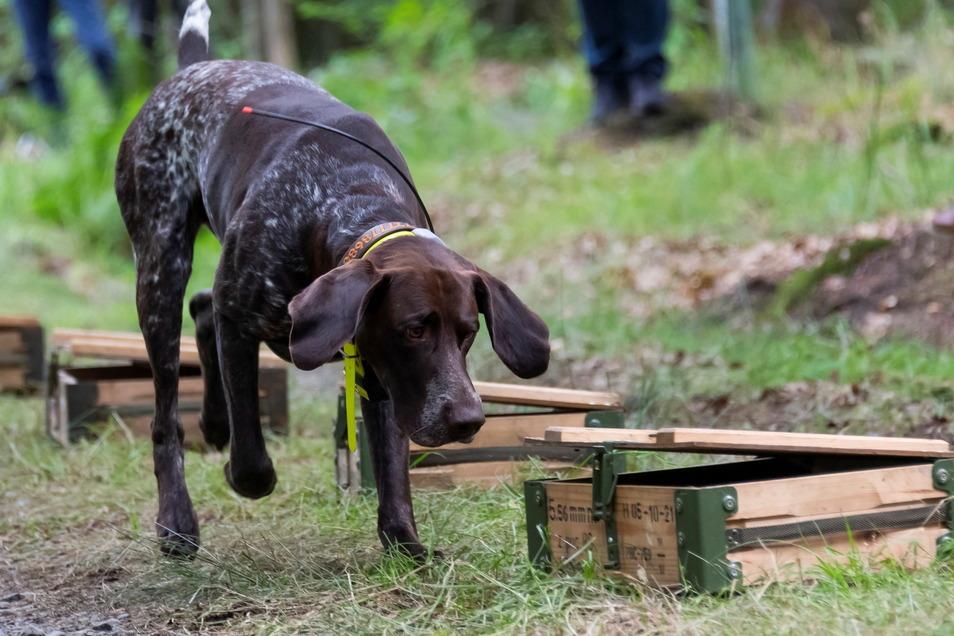 Ein Hund schnüffelt nahe Ottendorf-Okrilla an präparierten Kisten. Spürhunde sollen zur Unterbrechung der Infektionsketten für die regelmäßige, systematische Suche nach verendeten Tieren eingesetzt werden.