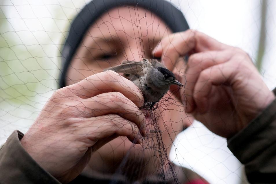 Winfried Nachtigall befreit ein Mönchsgrasmückemännchen aus dem Hochnetz. Es ist an seiner schwarzen Kappe gut zu erkennen..