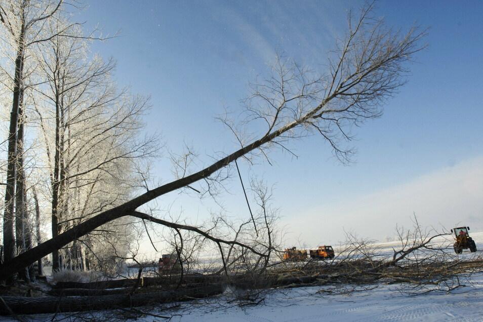Pappeln halten einem Sturm nicht immer stand. Deshalb werden sie gegebenenfalls vorsorglich gefällt.