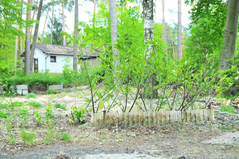 Hier hatte offenbar noch ein Campingfreund kurz vor Schluss Sträucher gepflanzt.