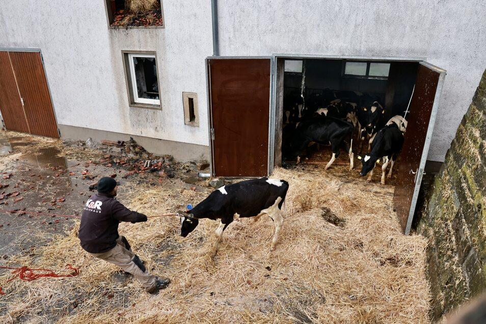 Es gelang nur unter großen Anstrengungen, Kühe aus dem Stall zu ziehen.