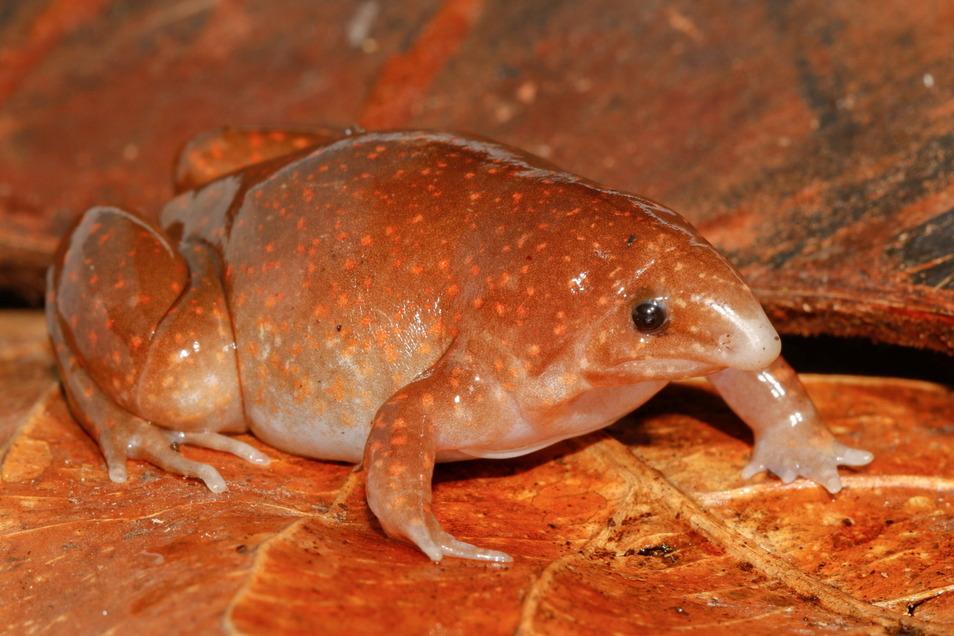 Synapturanus zombie (Zombiefrosch), an der Entdeckung des Froschs im Amazonasgebiet war Dr. Raffael Ernst von den Senckenberg Naturhistorischen Sammlungen Dresden beteiligt.