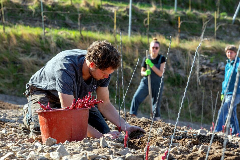 Winzerazubi Julian Beckmann vom Weingut Schuh in Sörnewitz pflanzt Chardonnay-Jungreben auf dem Klausenberg.