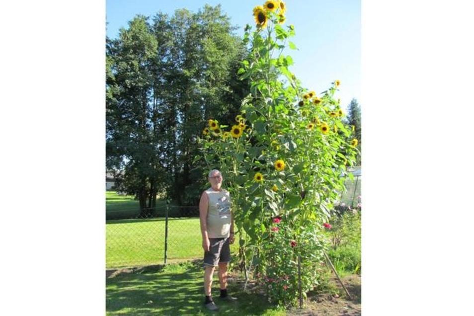 """""""Ursprünglich wollte ich gar keine Riesenblume züchten"""", schreibt Hans-Jürgen Brauner aus Schönbach zu seiner 4,30 Meter hohen Sonnenblume. """"Sie ist aus dem Vorjahressamen aus dem Boden aufgegangen und hörte einfach nicht auf zu wachsen."""""""