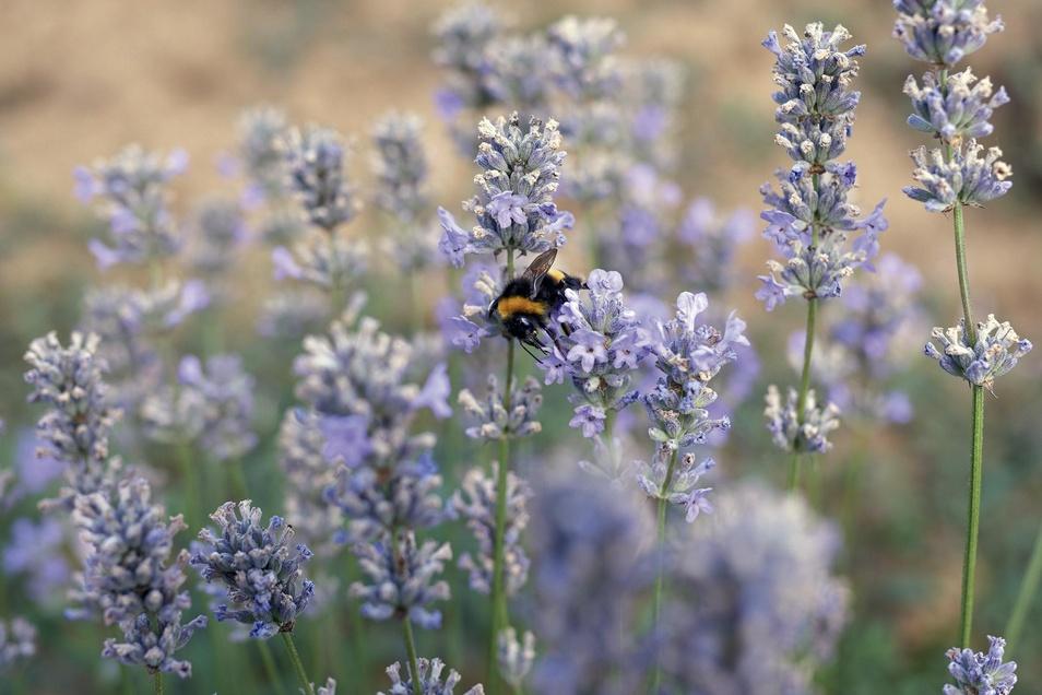 Lasea enthält als Wirkstoff ein spezielles, hochdosiertes Lavendelöl, das in Form von Weichkapseln Ruhe und erholsamen Schlaf zurückbringt.