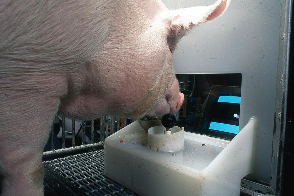 Ein Yorkshire-Schwein bedient den Joystick (undatierte Aufnahme). Schweine können einer neuen Untersuchung zufolge Computerspiele bedienen.