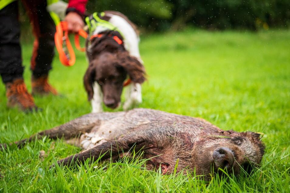 Mit einem Kadaversuchhund wird das Aufspüren von Wildschweinen trainiert.