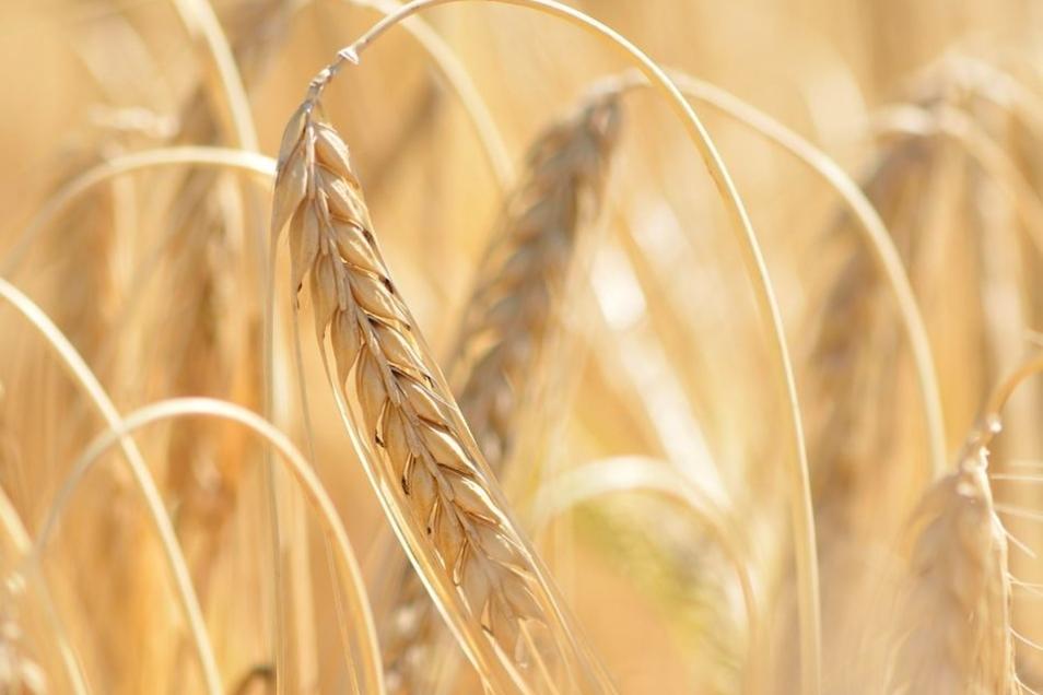 Bei der Wintergerste verzeichnen die Bauern deutliche Verluste.