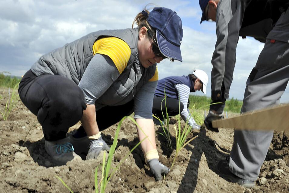 Das Einbringen der Miscanthus-Pflanzen auf dem Testfeld am Tagebaurand bei Reichwalde übernahmen Mitarbeiter der Firma Kühn und Wissenschaftler der Uni Hohenheim, die das Projekt begleiten. Der Anbau ist ein Knochenjob.