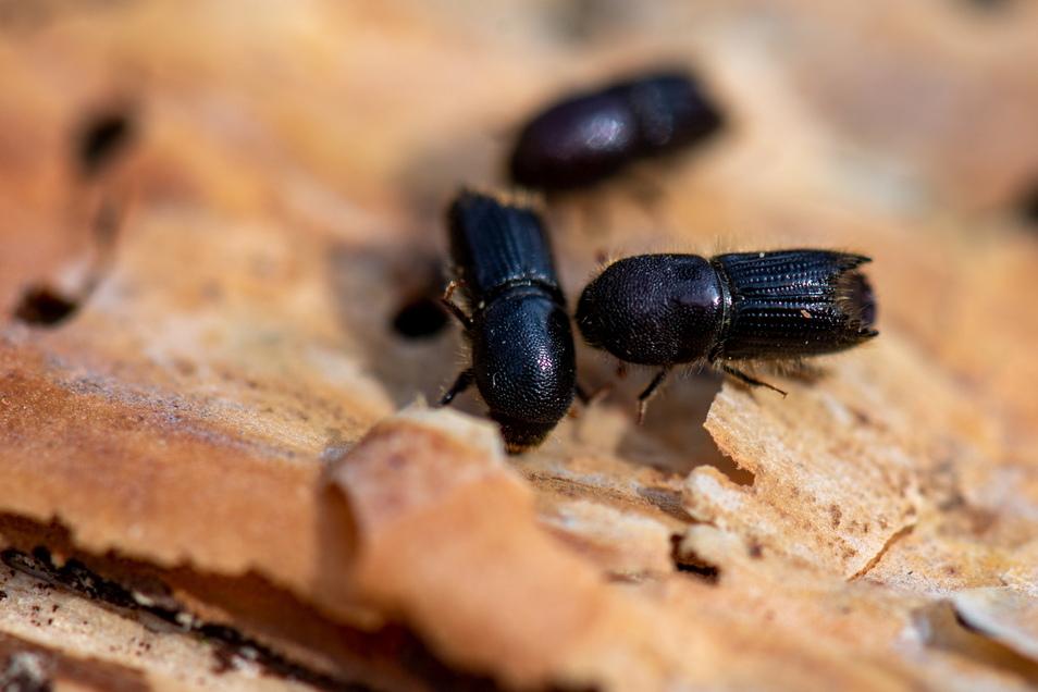 Es gibt verschiedene Borkenkäfer, die Sachsens Bäumen zusetzen. Das Foto zeigt konservierte Kiefernborkenkäfer, zur Anschauung auf der Rinde einer Kiefer.