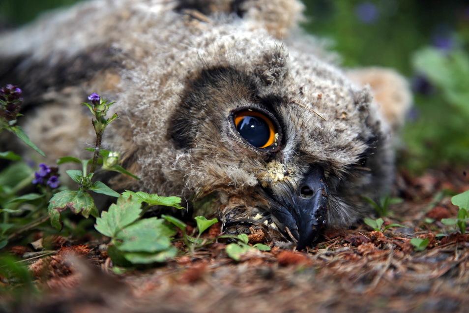 Dieser junge Uhu fiel im Sommer 2020 an einem Klettergipfel im Bielatal aus dem Nest. Damit so etwas nicht erneut passiert, ist der Fels aktuell gesperrt.