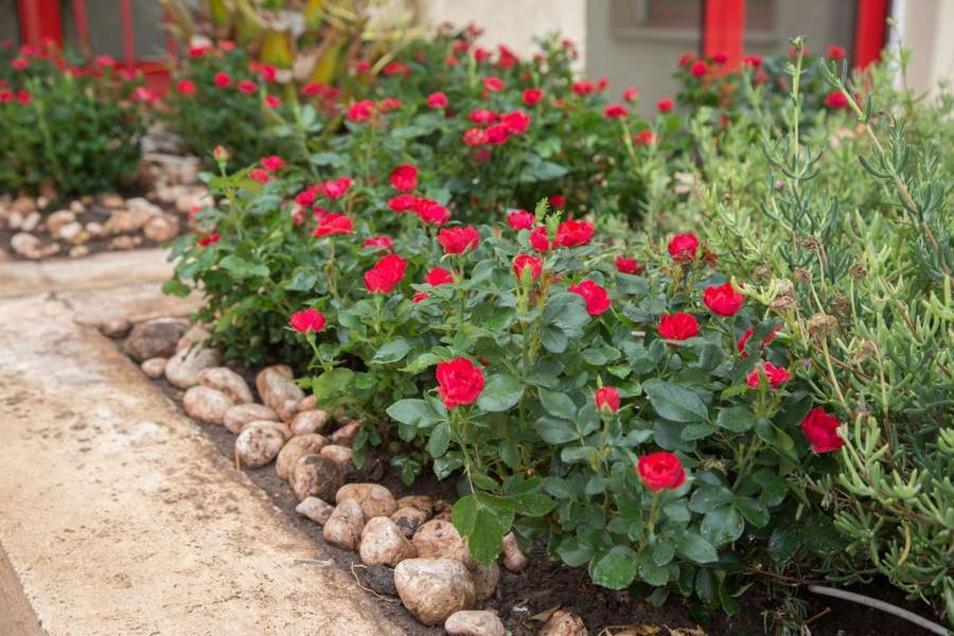 Mit einer dauerhaften Blüte sorgt die neue Rosensorte über viele Monate für Farbtupfer. Selbst nach dem Verblühen braucht man nichts abzuschneiden.