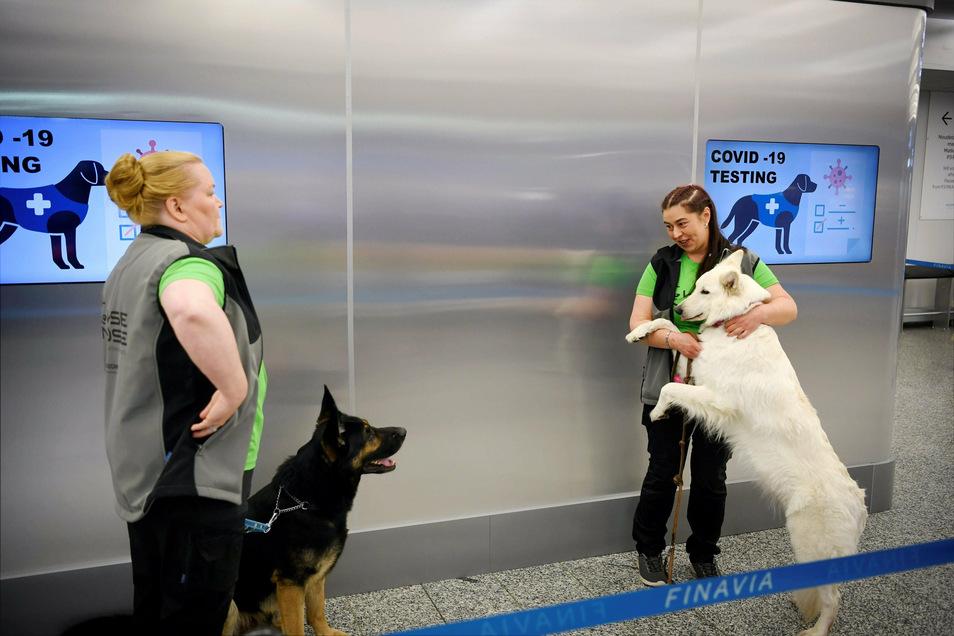 Die Spürhunde Valo (l) und E.T. stehen mit ihren Trainern hinter einer Absperrung am Flughafen Helsinki-Vantaa. Vier speziell ausgebildete Hunde sollen Corona-Infektionen bei Menschen erschnüffeln, noch bevor diese Symptome zeigten.
