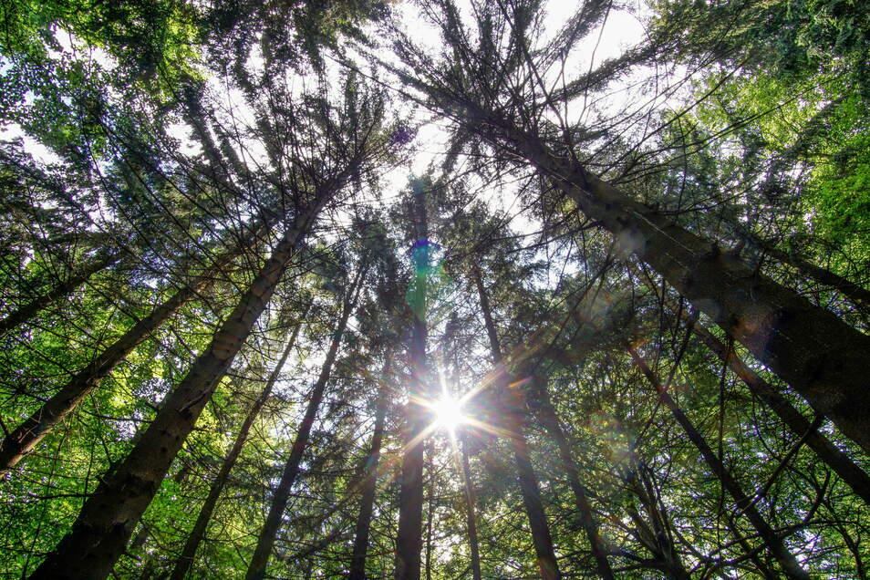 Das Naturschutzzentrum Neukirch will die Menschen mit einem Quiz zum Spazieren bewegen. Auch um die Bäume am Valtenberg können sich die Fragen drehen.