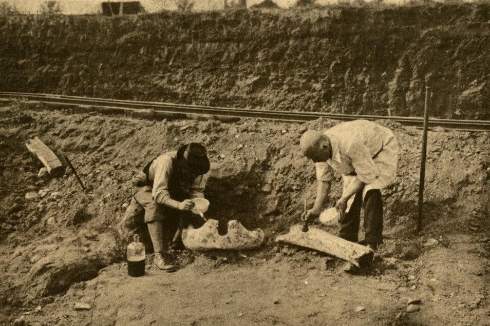 In den 1920er- und 1930er-jahren wurden in der Lehmgrube der Prohliser Ziegelei Kunath wiederholt Knochen- und Zahnreste von Mammuts und anderen eiszeitlichen Großsäugetieren freigelegt.