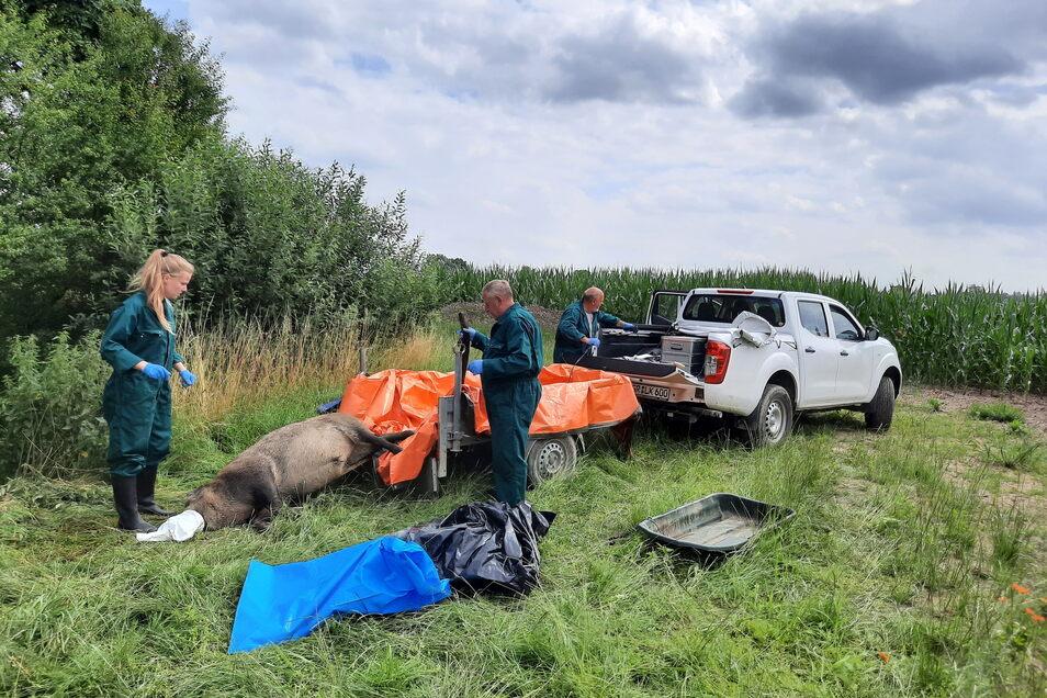 Gras und Getreide, das in der Sperrzone II geerntet wurde und an Hausschweine verfüttert werden soll, muss ab sofort speziell gekennzeichnet werden, wenn es nicht zuvor thermisch behandelt wurde.
