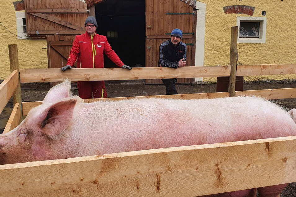 Erna heißt die Sau von Biobauer Göran Schultze (r.). Das Meißner Landschwein gewöhnt sich gerade an ihr neues Freigehege.