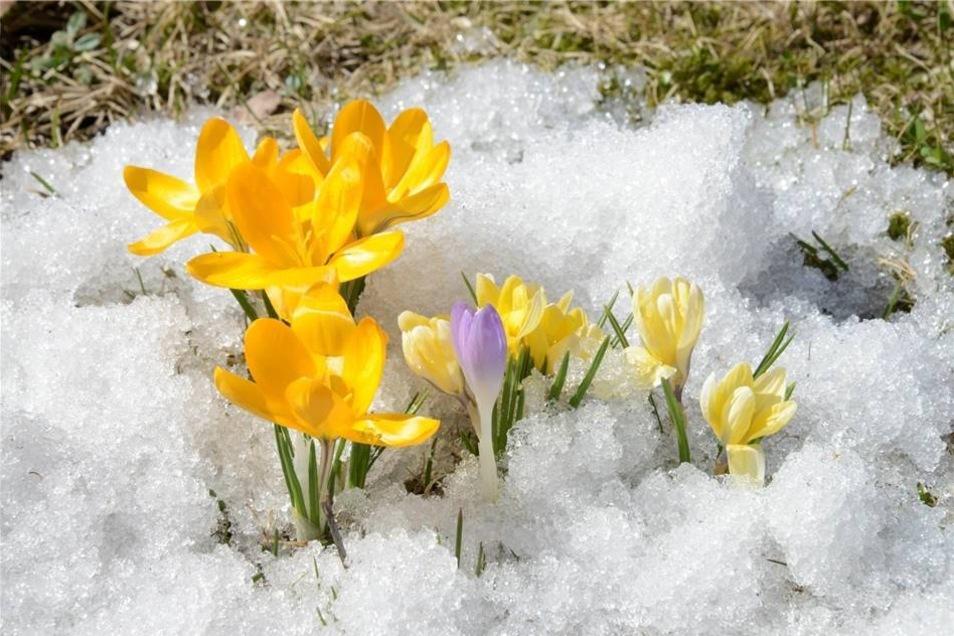 In Zinnwald müssen sich die Krokusse noch durch Schneereste kämpfen.