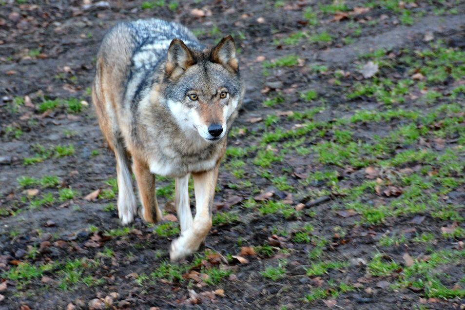 Wölfe sind viel unterwegs. Mehrere Sichtungen gab es jetzt auch im Kirnitzschtal.