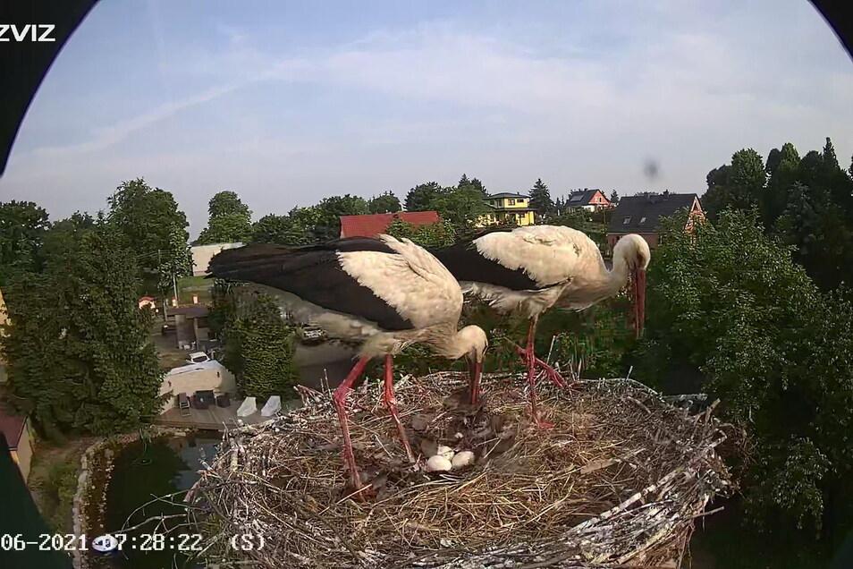 So sieht der Blick durch die Kamera aus, die Nico Schirmer im Horst installiert hat. Klar zu erkennen sind die drei Eier.