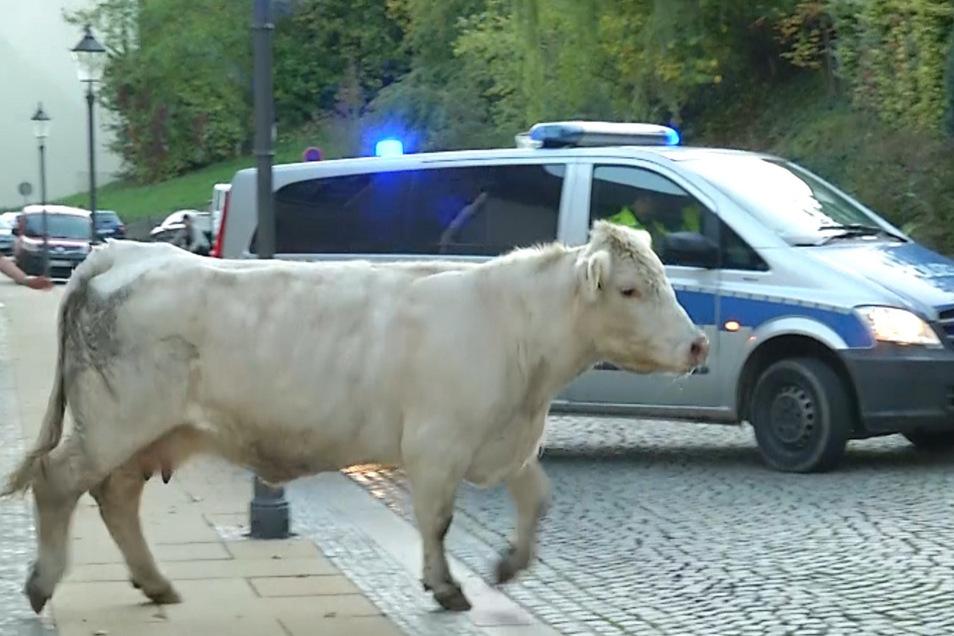 Weder für Mensch noch Tier eine angenehme Situation: Kuh Elma bei ihrer Flucht am Montag in der Görlitzer Nikolaivorstadt.