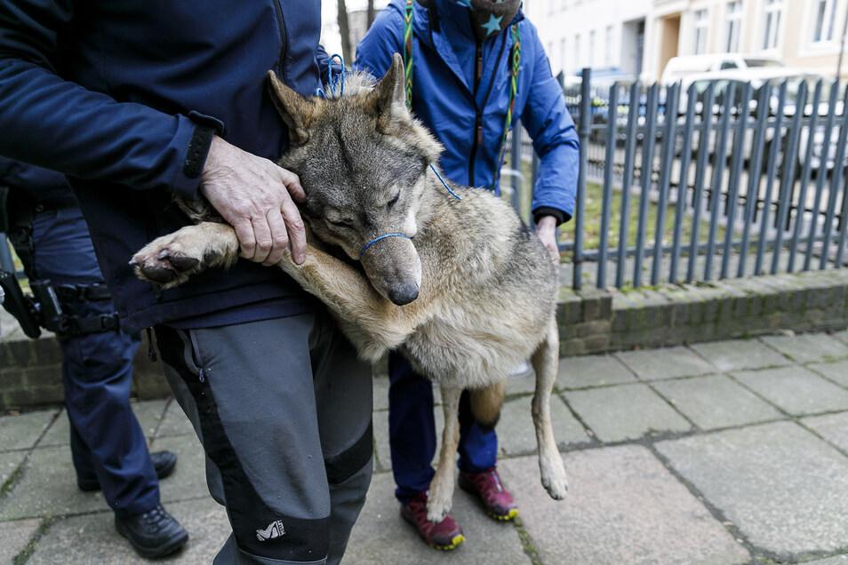 Eindeutig ein Wolf: Am 30. Dezember war das Jungtier in einem Görlitzer Hinterhof aufgetaucht.