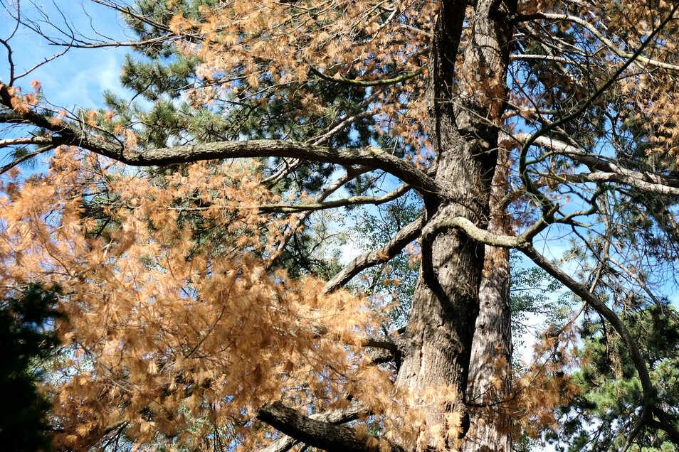 Nicht immer lassen sich kranke Bäume so eindeutig identifizieren wie die Weymouthskiefer am Lutherplatz.