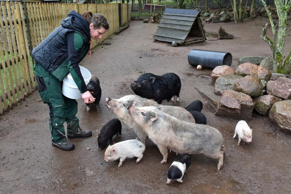 Tierkinder im Wildpark Osterzgebirge Hartmannmühle Geising Tierpflegerin Maika Naß verteilt Leckerlies bei den Minischweinen, wo sechs kleine Ferkel herumwuseln.