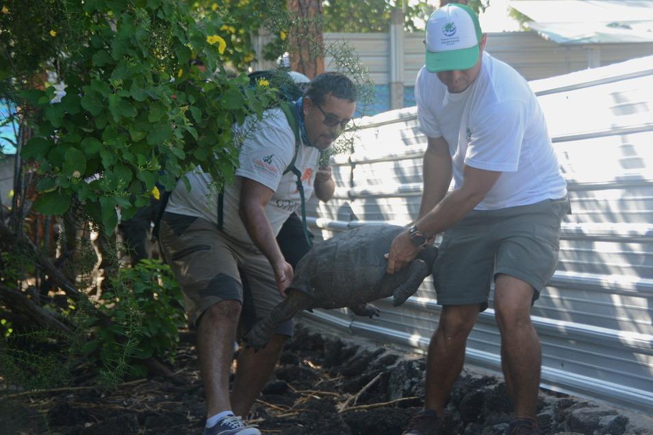Ecuador, Galapagos Inseln: Die Spezies Chelonoidis phantasticus, eine vermeintlich ausgestorbene Riesenschildkröte, wird von zwei Männern getragen.