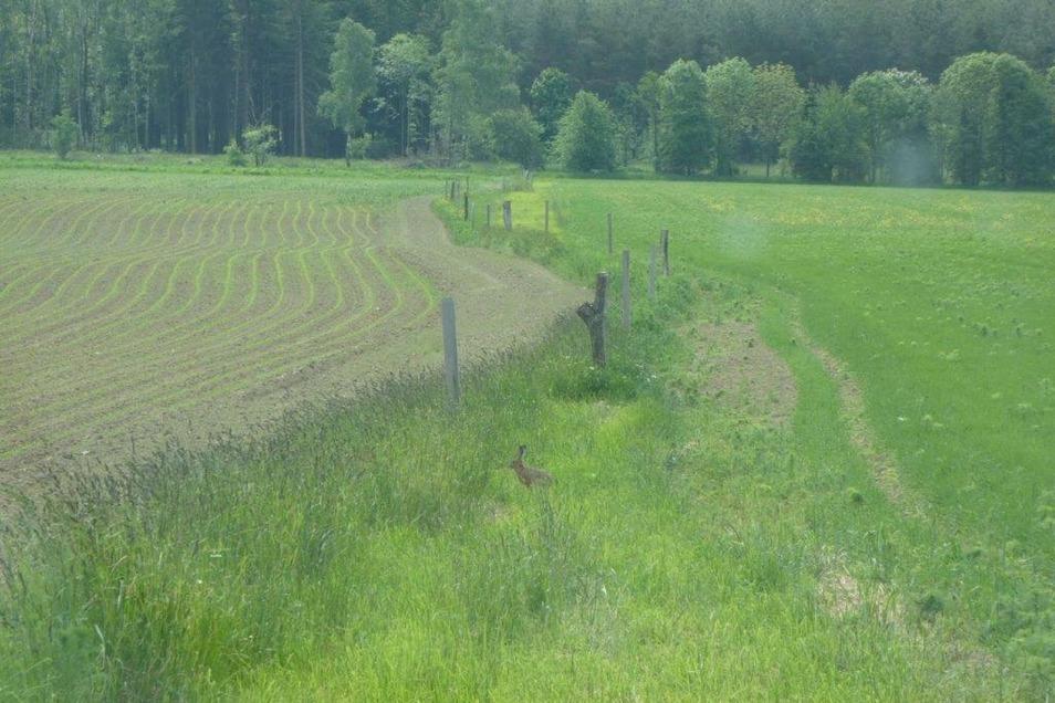 Ein Feldhase hoppelt über die Wiese.
