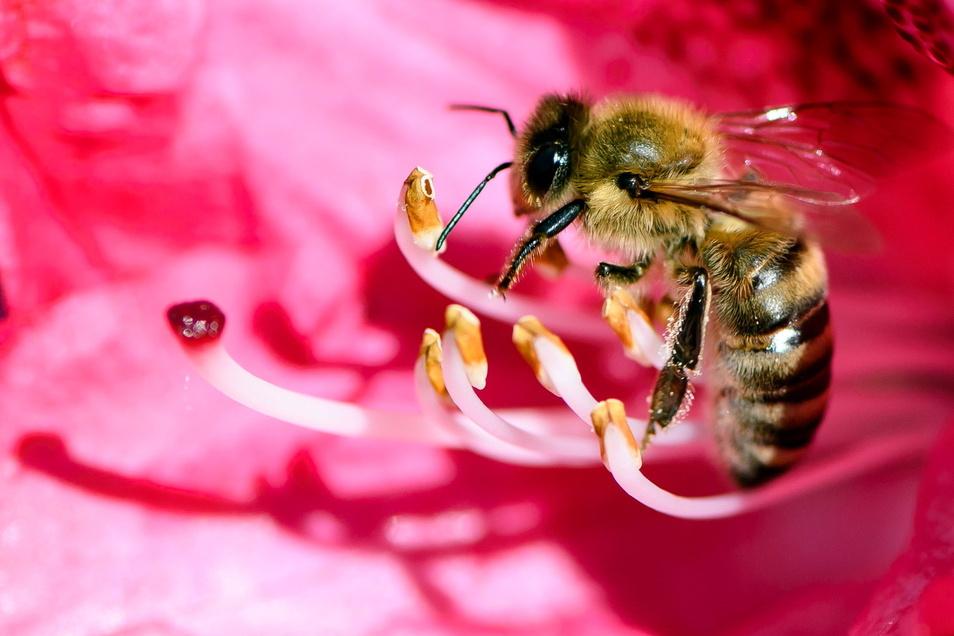 Mit Bienenweiden soll den Insekten wieder mehr Nahrung geboten werden.