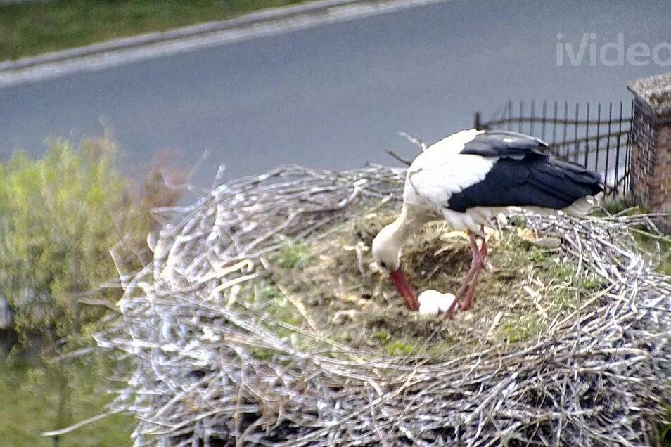Life is live: Die Zehrener Störchin mit drei Eiern, aufgenommen von einer Videokamera am Host.