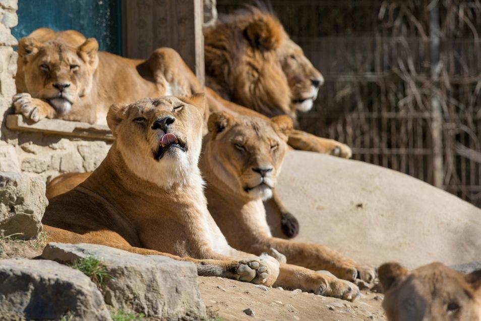 Löwen liegen in ihrem Gehege im Osnabrücker Zoo in der Frühlingssonne.
