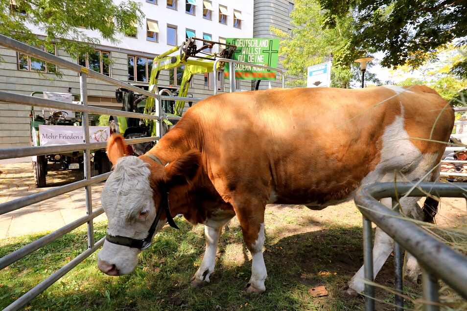 Am Dienstag stand eine Kuh vor der Staatskanzlei in Dresden.