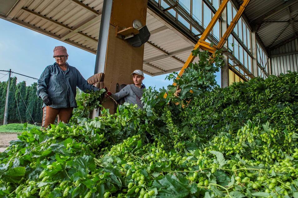 Jedes Jahr, selbe Zeit: In Gävernitz ist Hopfenerntezeit! Saisonkräfte aus Polen füttern die Pflückmaschine, die die Dolden vom Hopfenstock trennt.