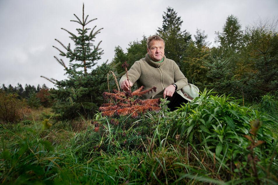 Dieses Bild zeigt die Krux: Revierförster Thomas Stelzig mit einem abgestorbenen, kleinen Baum, der in drei Jahren die richtige Weihnachtsbaumgröße gehabt hätte.