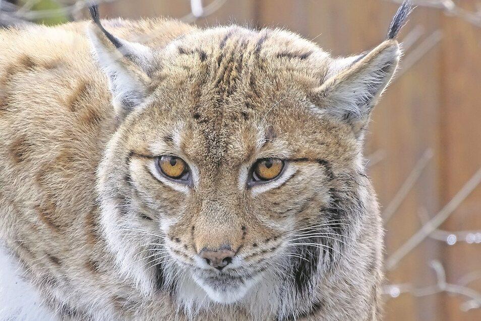 Gestatten: Casper! Der 10-jährige Karpatenluchs ist der lang ersehnte Neuzugang im Tierpark Weißwasser.