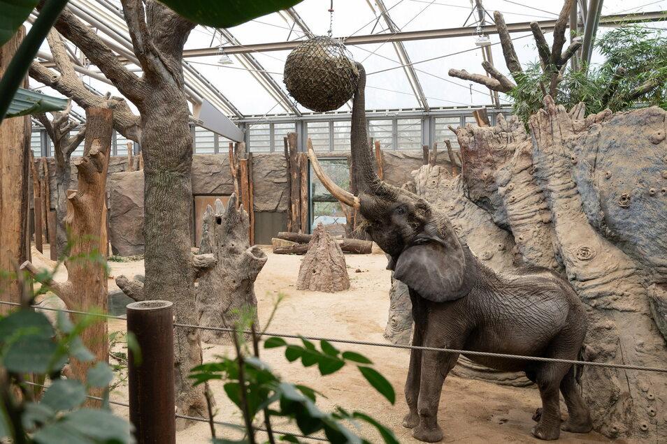 Elefantenbulle Tonga ist seit November im Dresdner Zoo und hat sich bestens eingelebt. Besucher durften ihn bislang noch nicht bestaunen.