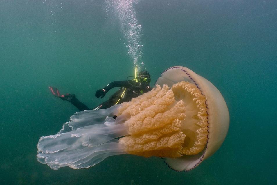 Biologin Lizzie Daly taucht hinter einer geschätzt 1,5 Meter langen Lungenqualle.