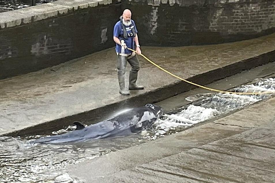 Ein verletzter junger Minkwal wurde von Rettungskräften aus einer Themse-Schleuse befreit PA Media