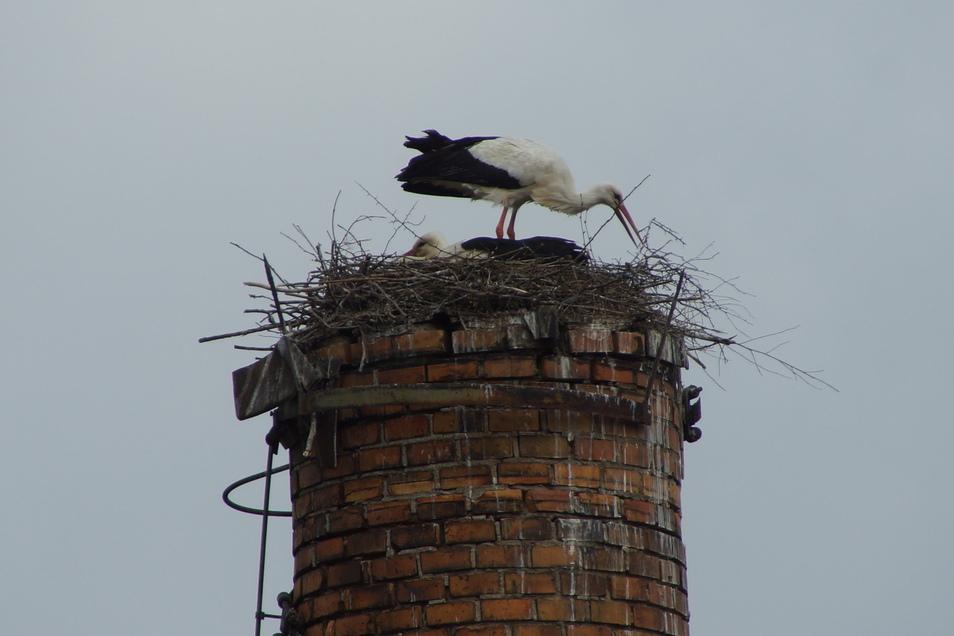 Noch ist das Nest nicht fertig. Immer wieder wird nachgebessert.